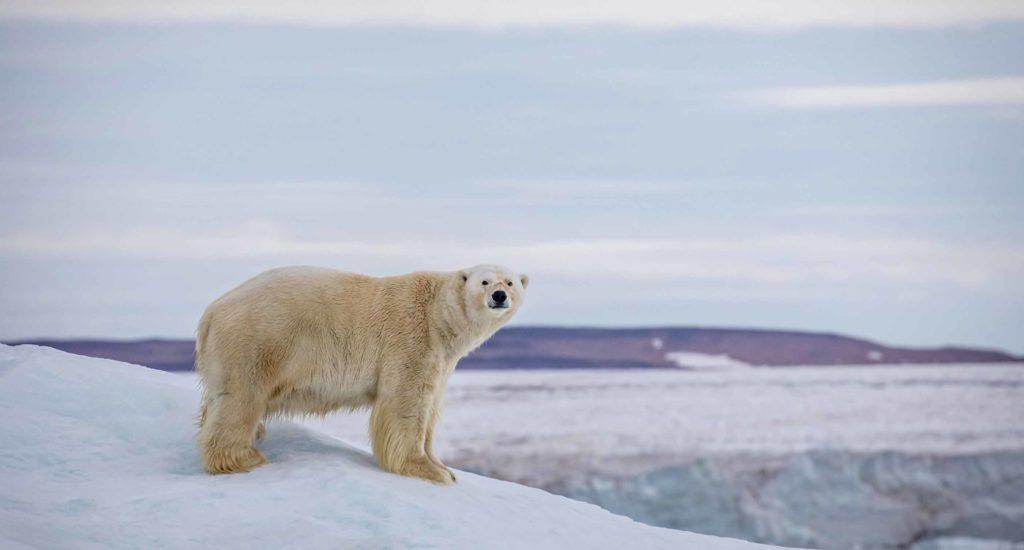 Ours Polaire sur la glace du Spitzberg