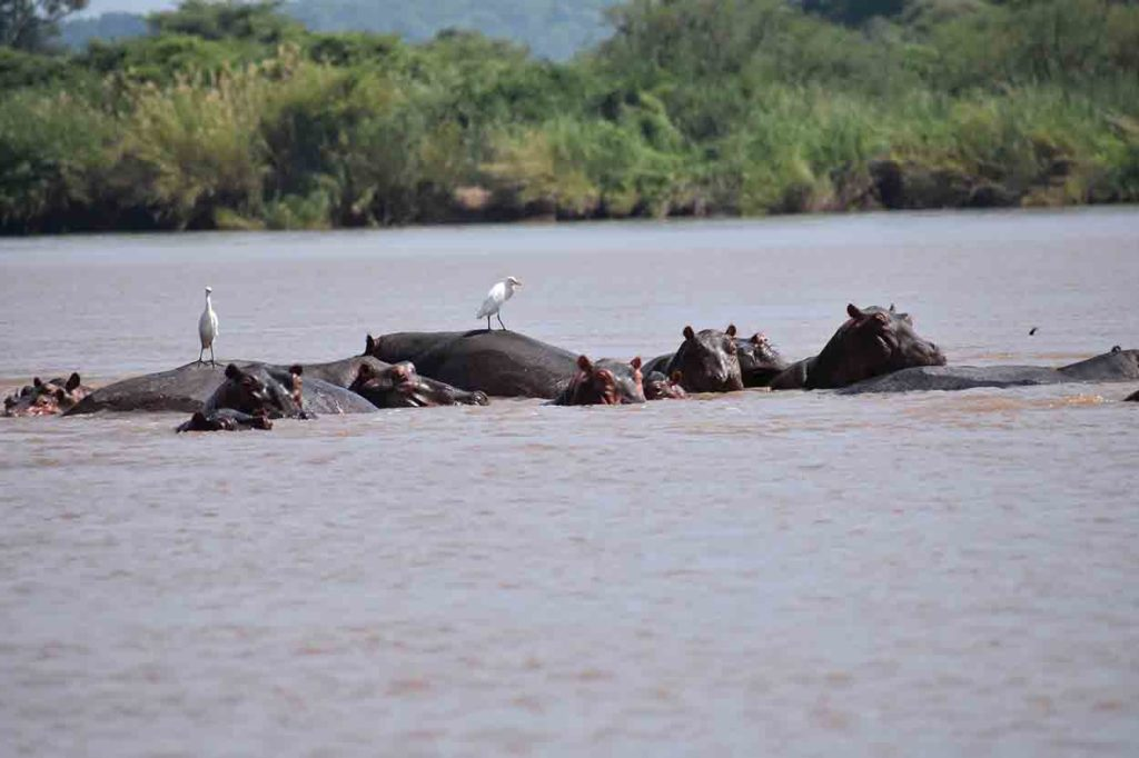 Hippopotames Zambeze