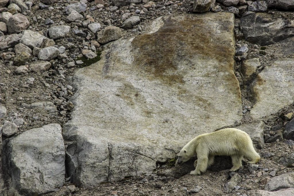 Ours polaire - Croisière Spitzberg