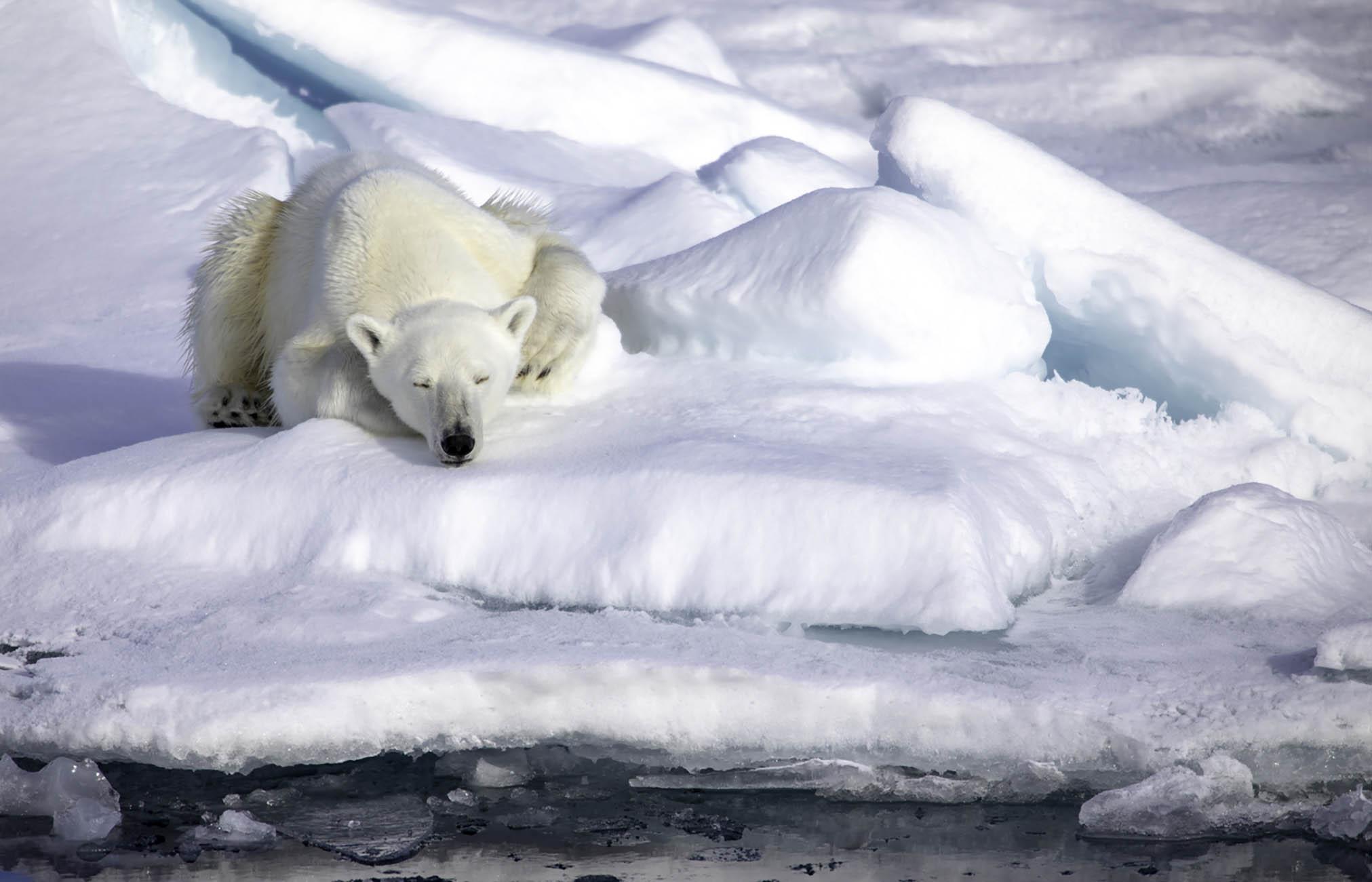 Ours polaire - Croisière Arctique