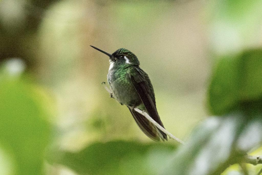 Oiseau - Costa Rica
