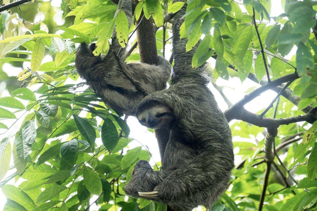 Observation des Paresseux au Costa Rica