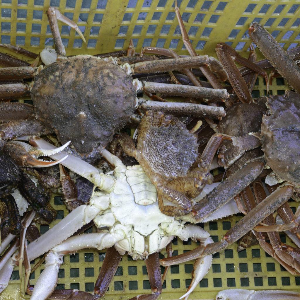 Crabe Kamchatka Circuit