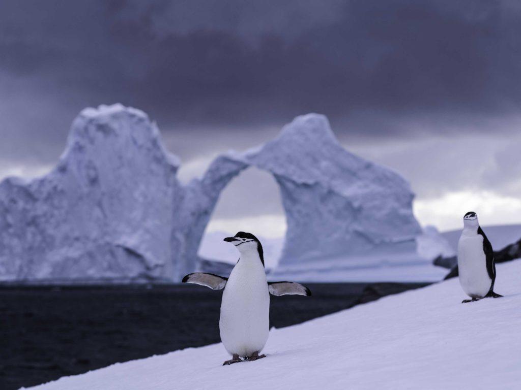 Découverte des manchots jugulaires en Antarctique