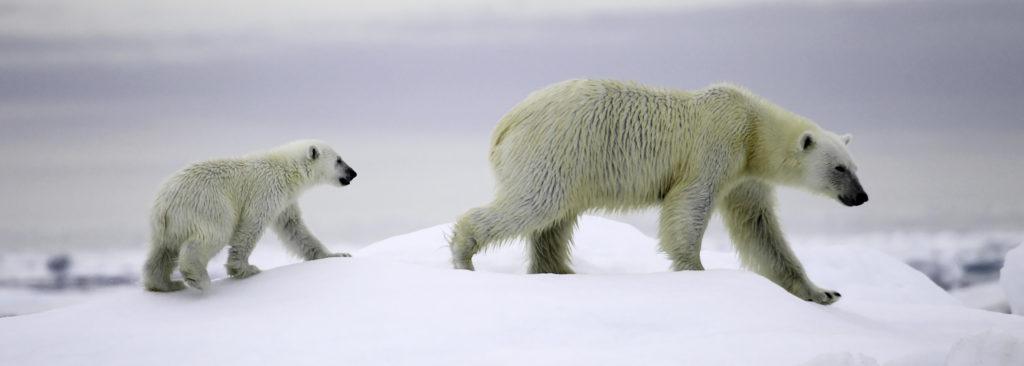 Ours polaire et ourson Spitzberg