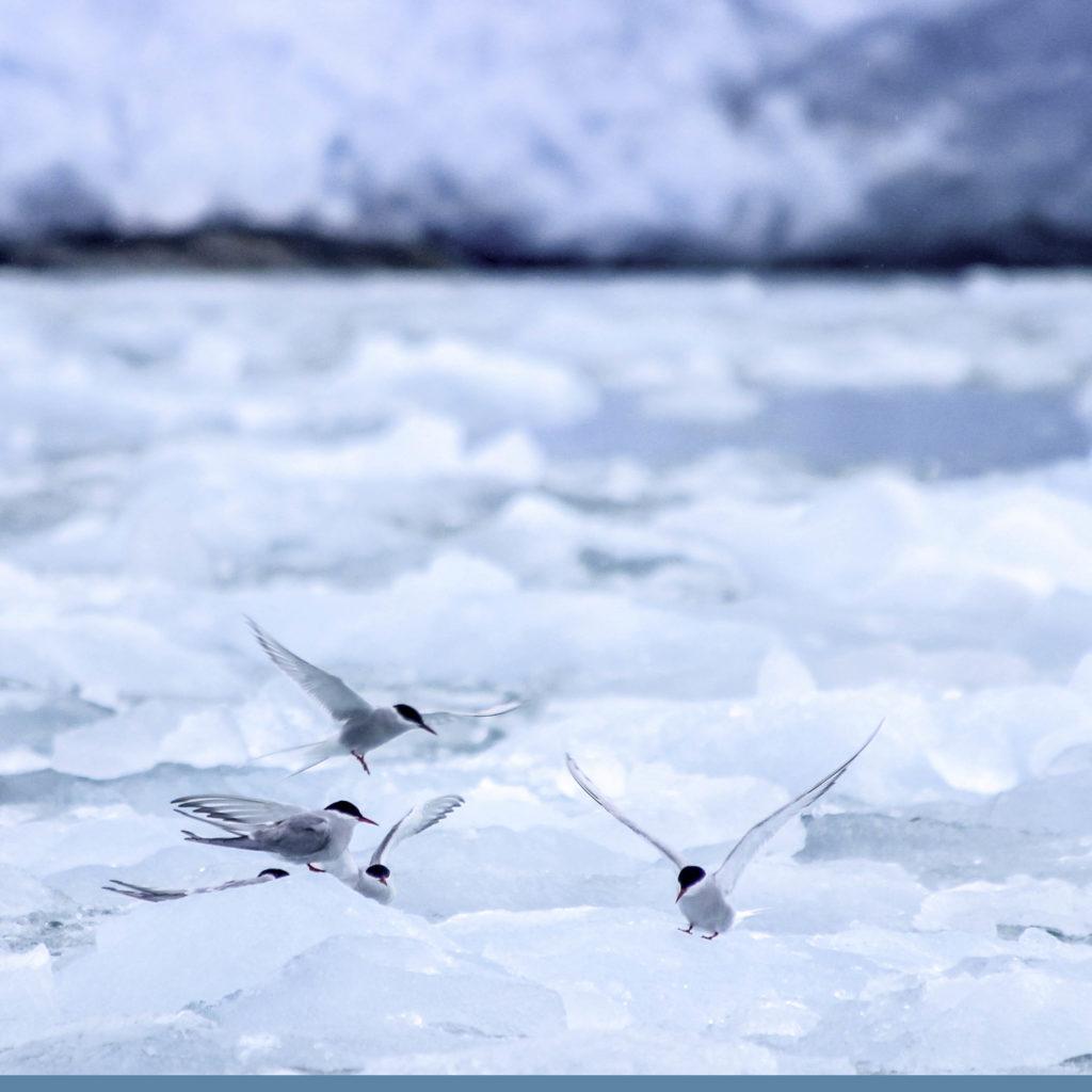 Observation Sterne Arctique