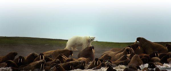 Grands Espaces - Tchoukotka Ile Wrangel
