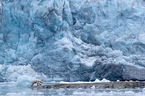 ours polaire glacier