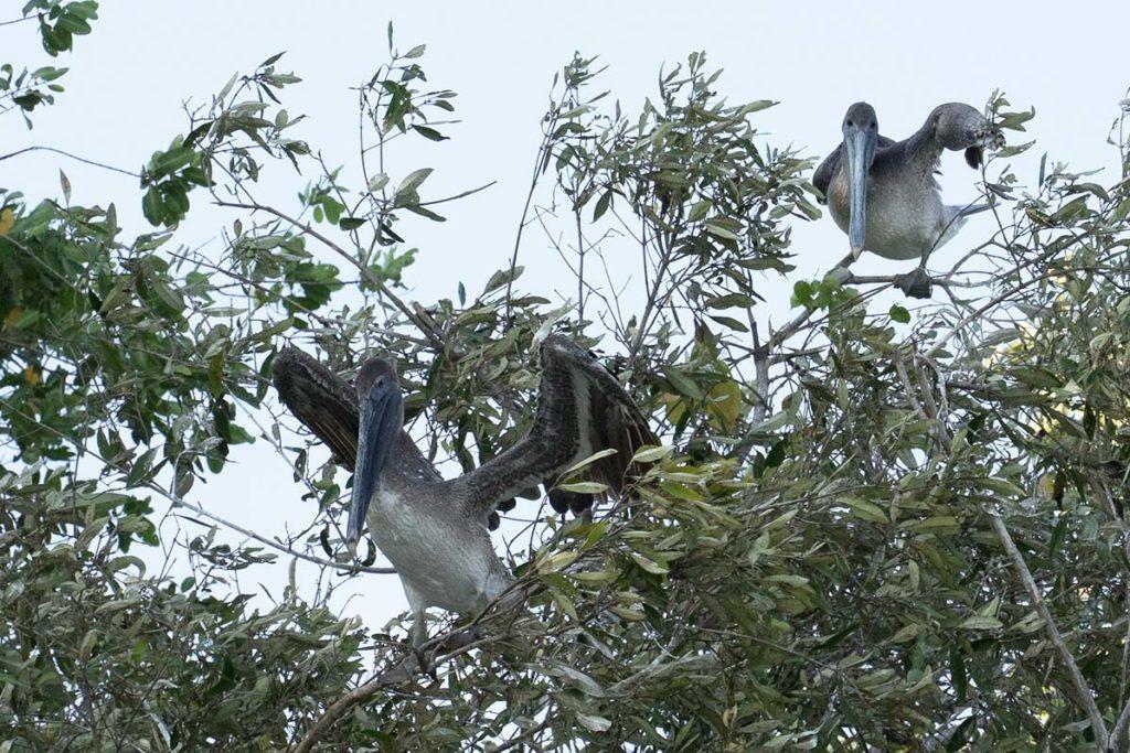 Pelican brun - Costa Rica