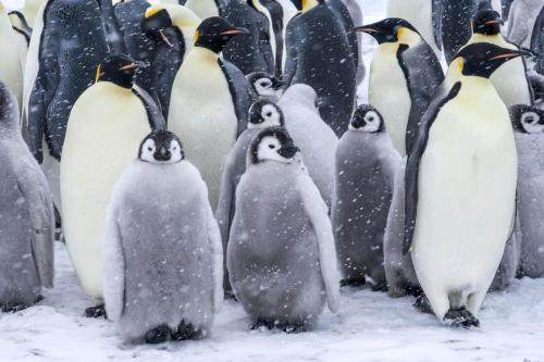 Découverte des manchots empereur lors de la croisière en Antarctique