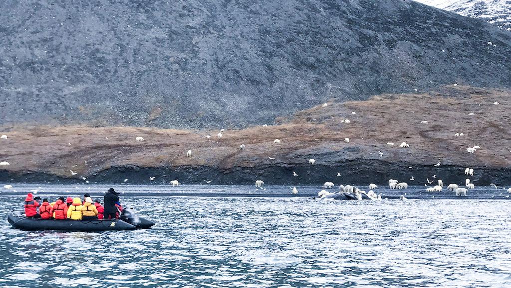 Observation de 230 ours côte ile Wrangel, à bord du bateau polaire Professeur Khromov