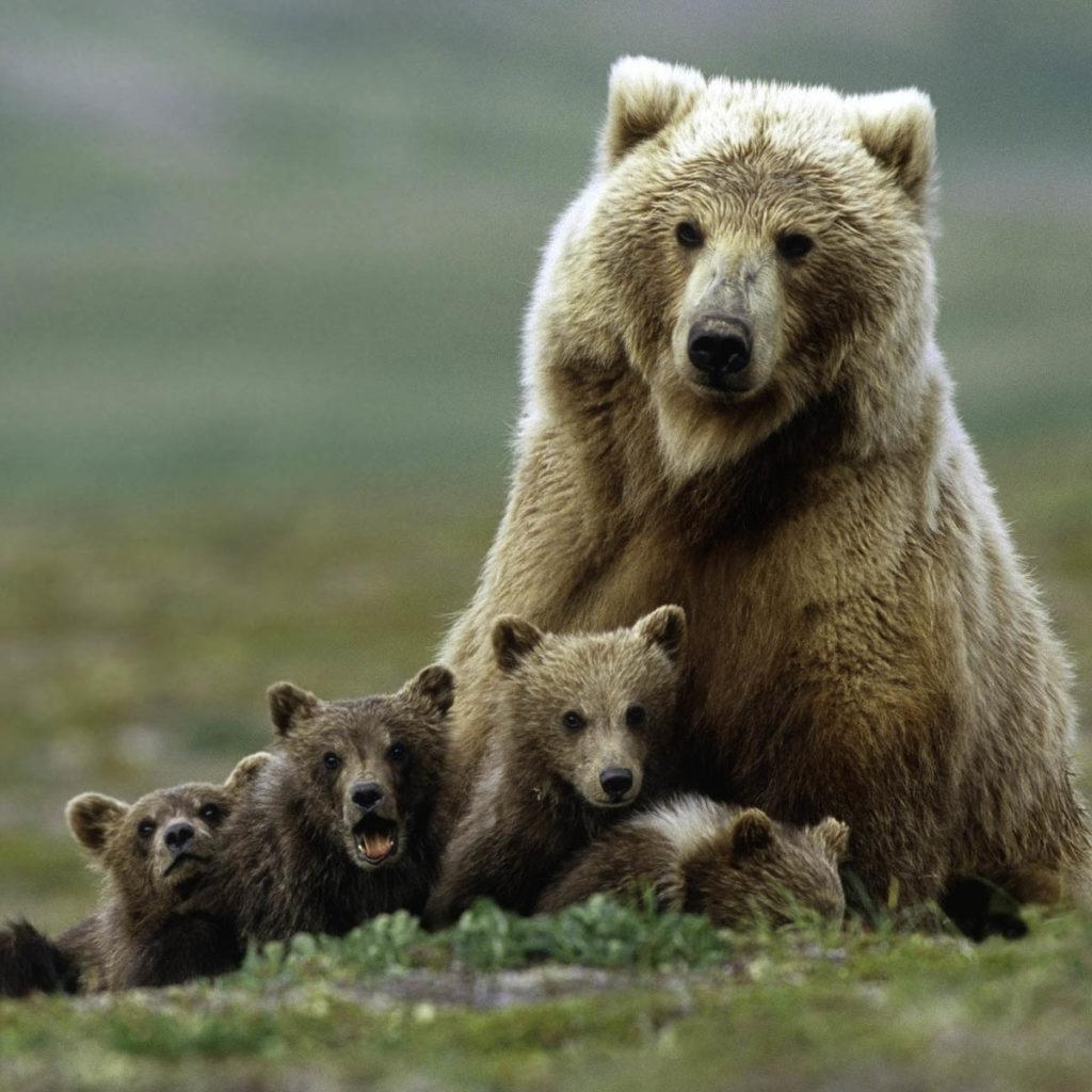Ours Alaska
