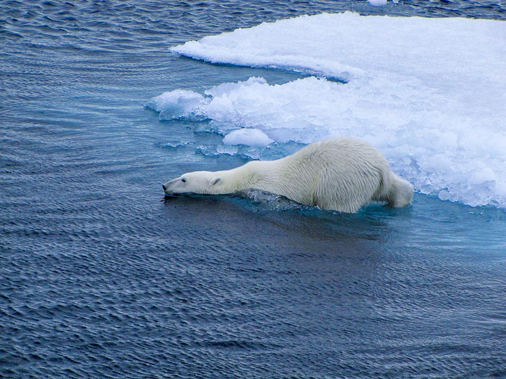 Ours polaire plonge