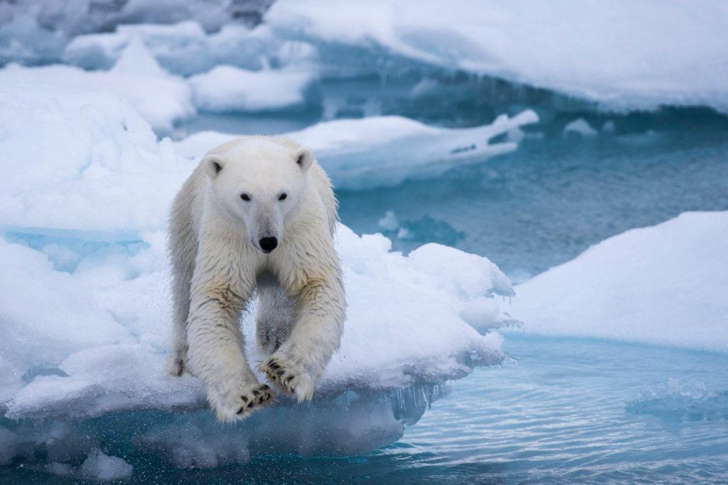 Observation de l'ours polaire lors de la croisière au Spitzberg