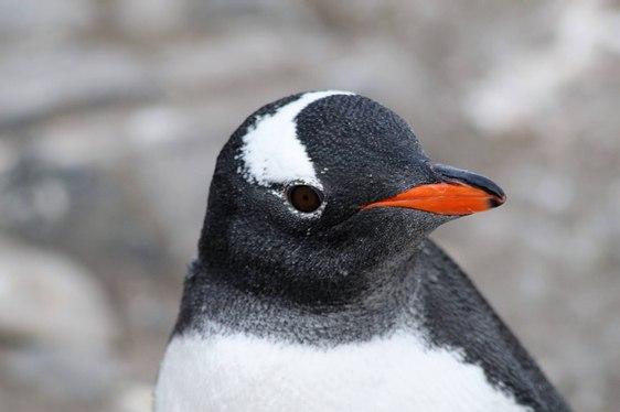 Croisière polaire en Antarctique - Manchots papous