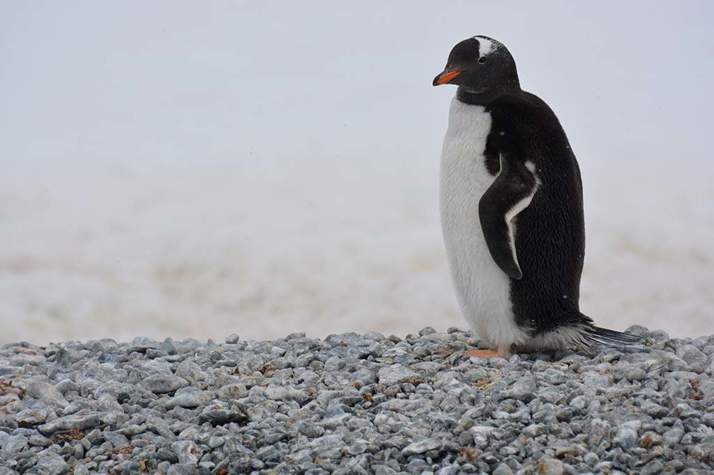 Antarctique manchot
