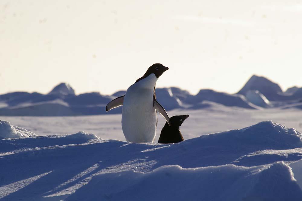 Découverte des manchots lors de la croisière en Antarctique