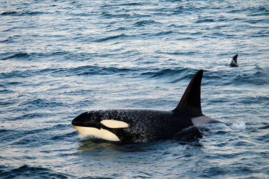 croisière polaire orque