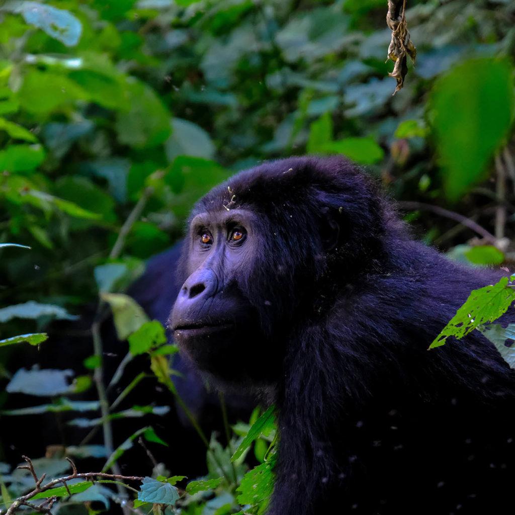 Voyage Ouganda Observation Gorriles Chimpanze Uganda