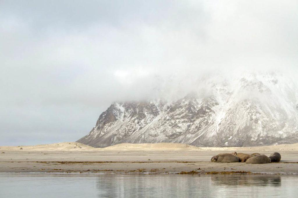 Croisière Polaire - Gullybukta - Baie de la Madeleine - Premiers morses