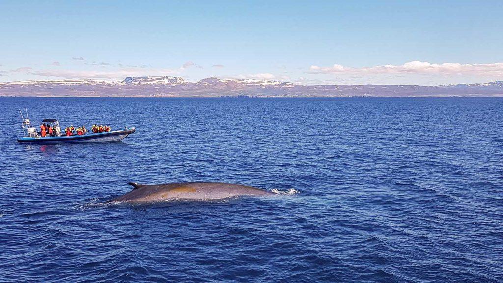 J06-01 - Husavik Baleine Islande