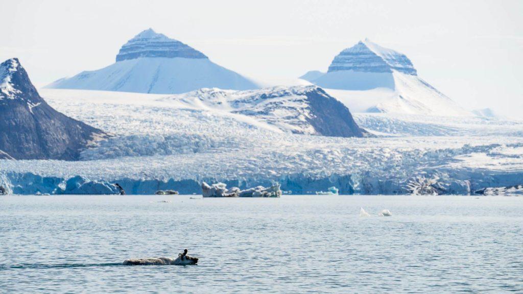 Nage Renne Arctique Spitzberg