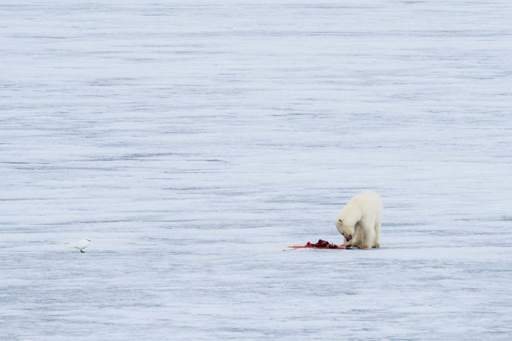 Croisières Spitzberg - Observation ours polaires