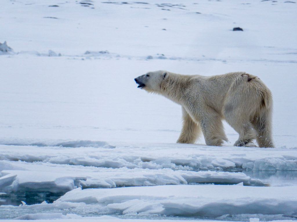 Ours Polaire Svalbard Polarfront