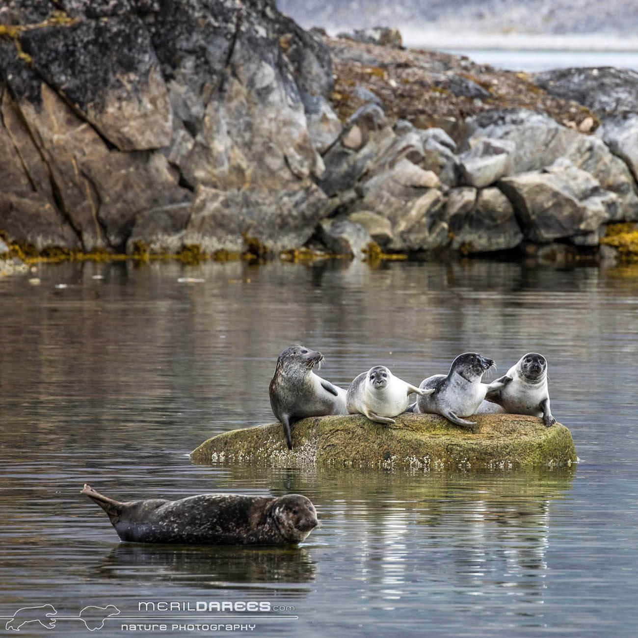 Phoque Svalbard