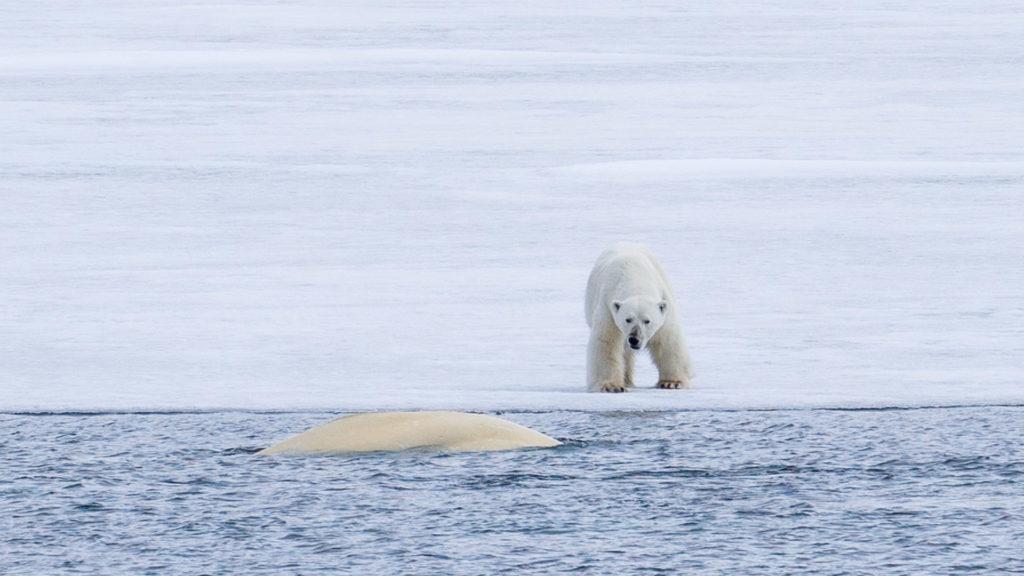 Ours Polaire Spitzberg Polarfront