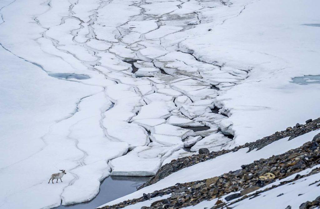 Renne Arctique Croisiere Spitzberg
