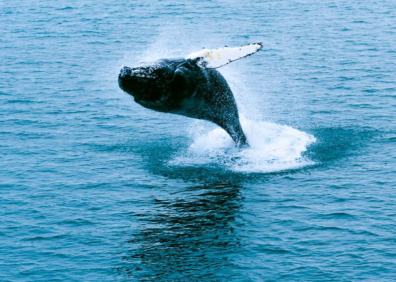 Baleine à bosse