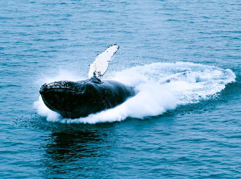 Baleine à bosse Liefdefjorden