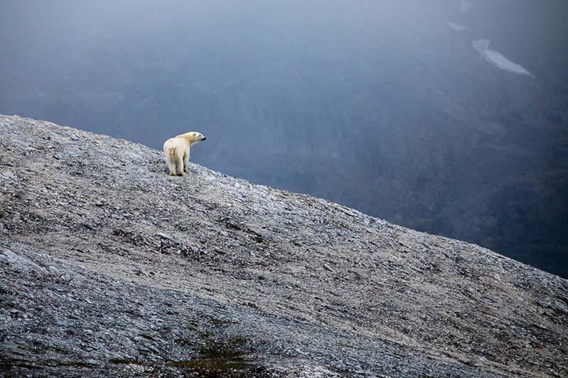 Croisière expedition Spitzberg Ours polaire