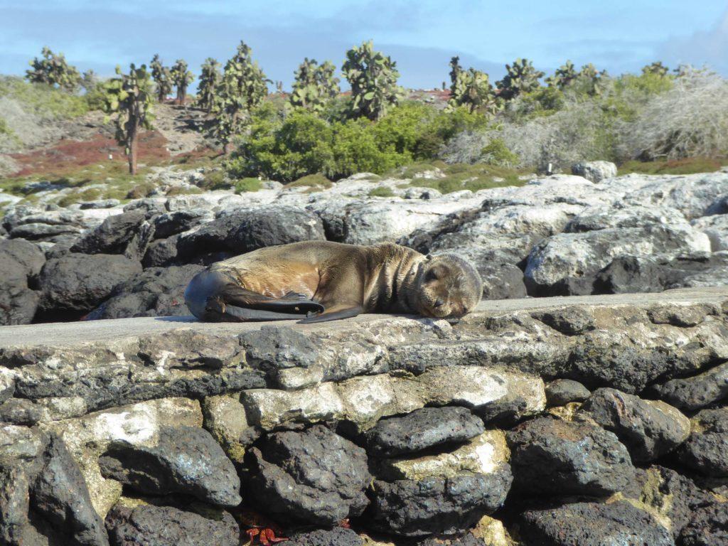 Croisière Galapagos bébé otarie
