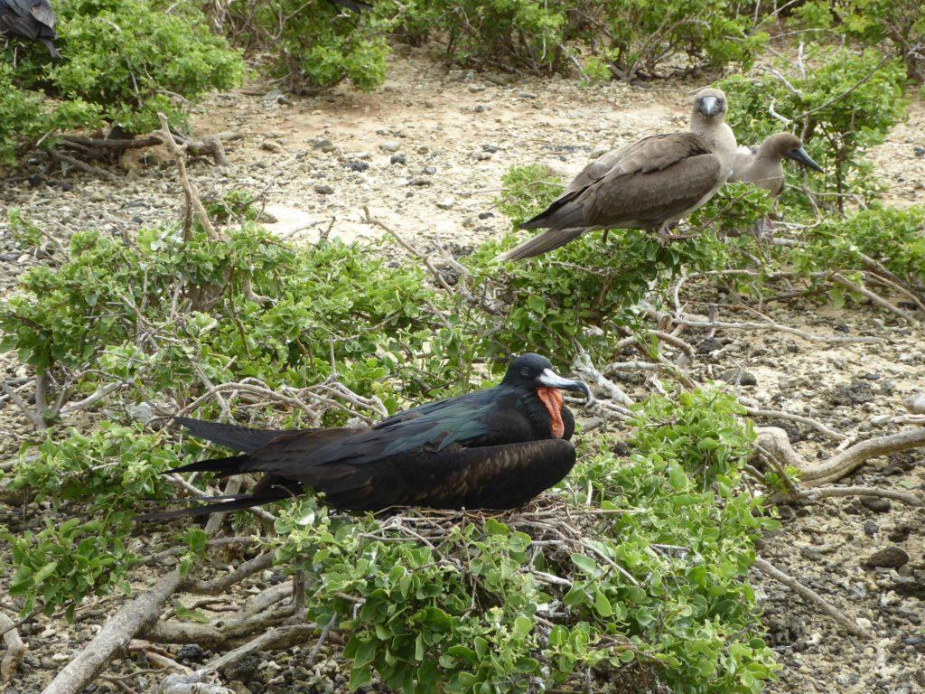 Galapagos, frégate et fou pieds rouges