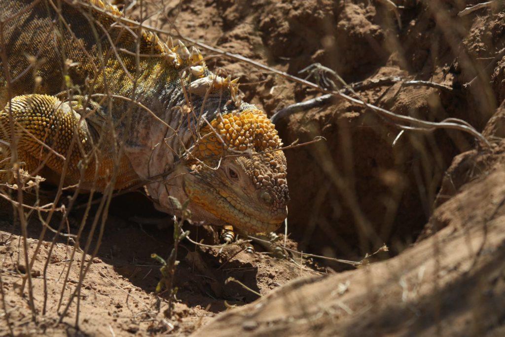 Croisièree Galapagos iguane