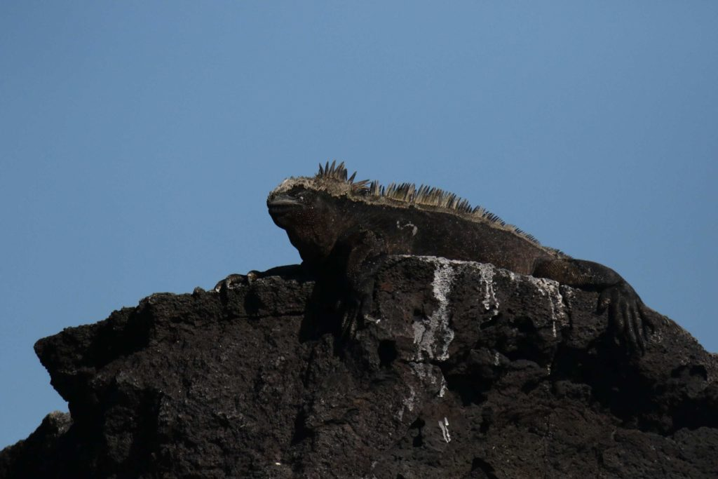 Galapagos Iguane marin