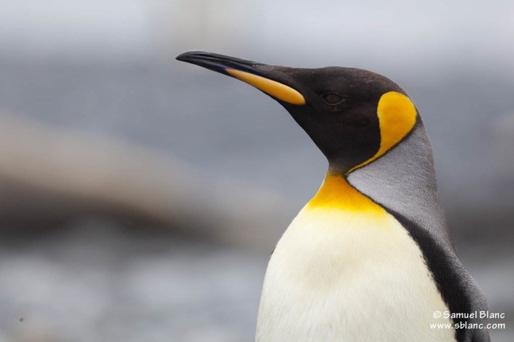 Croisière Antarctique Manchot royal