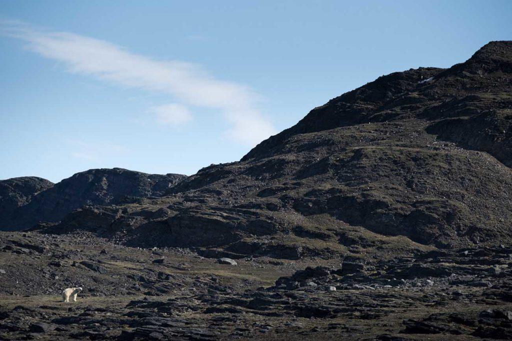 Ours Polaire Ossiansarsfjellet