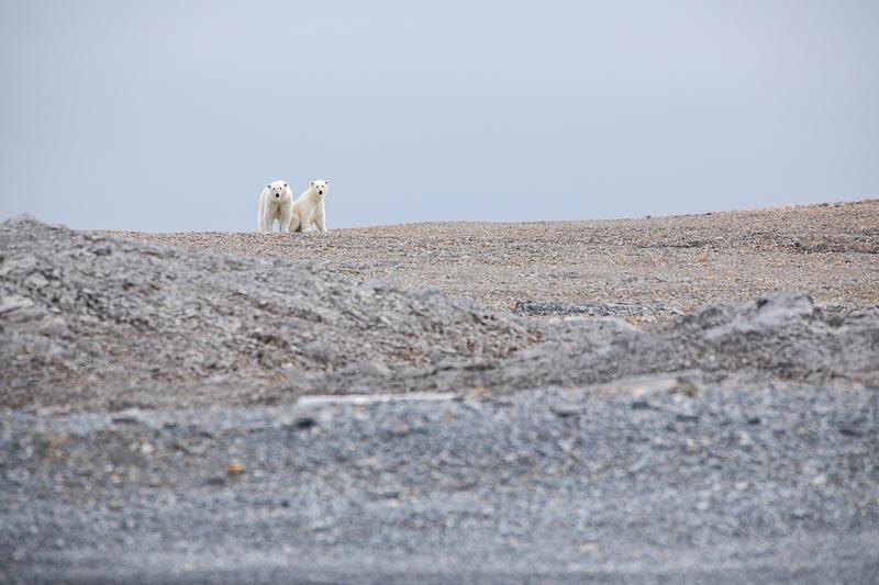Observation ours blanc Krossoya Spitzberg