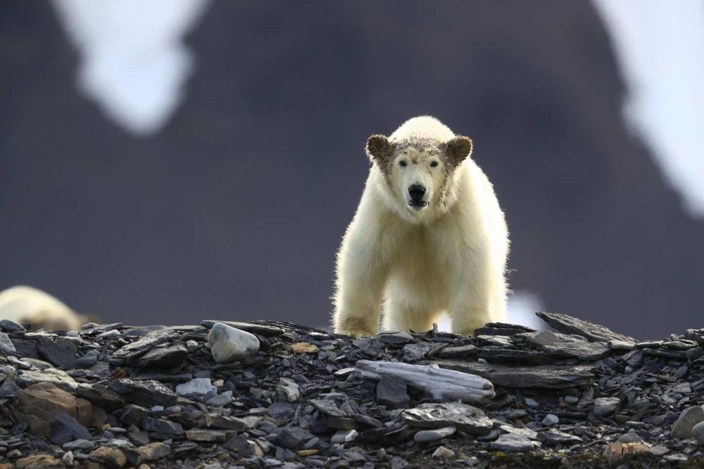 Croisière Ours polaire