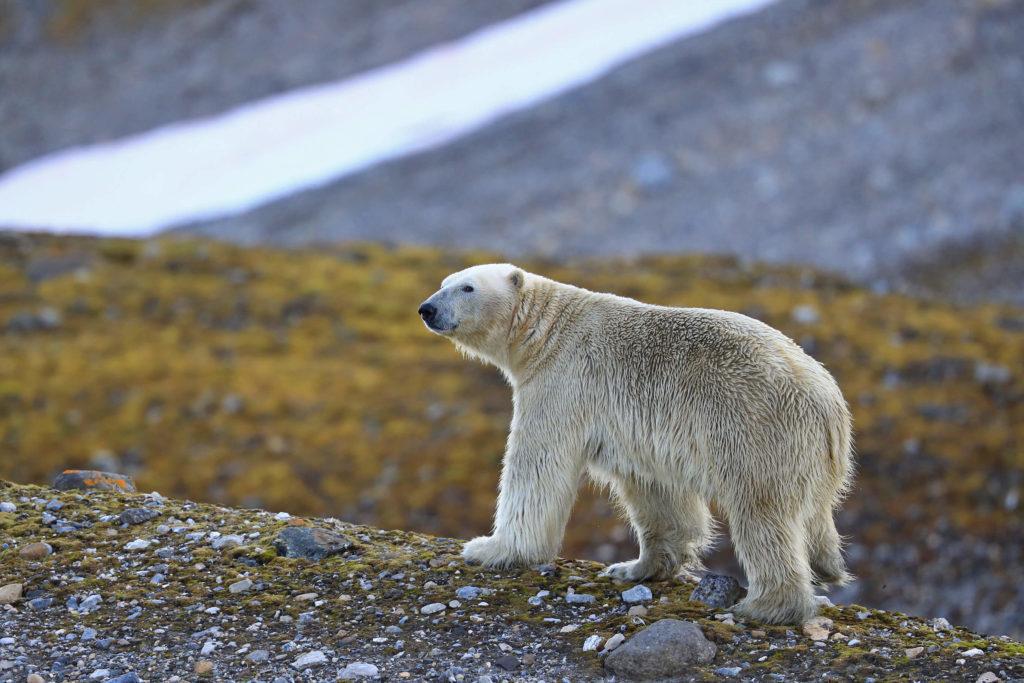 Croisière ours blanc