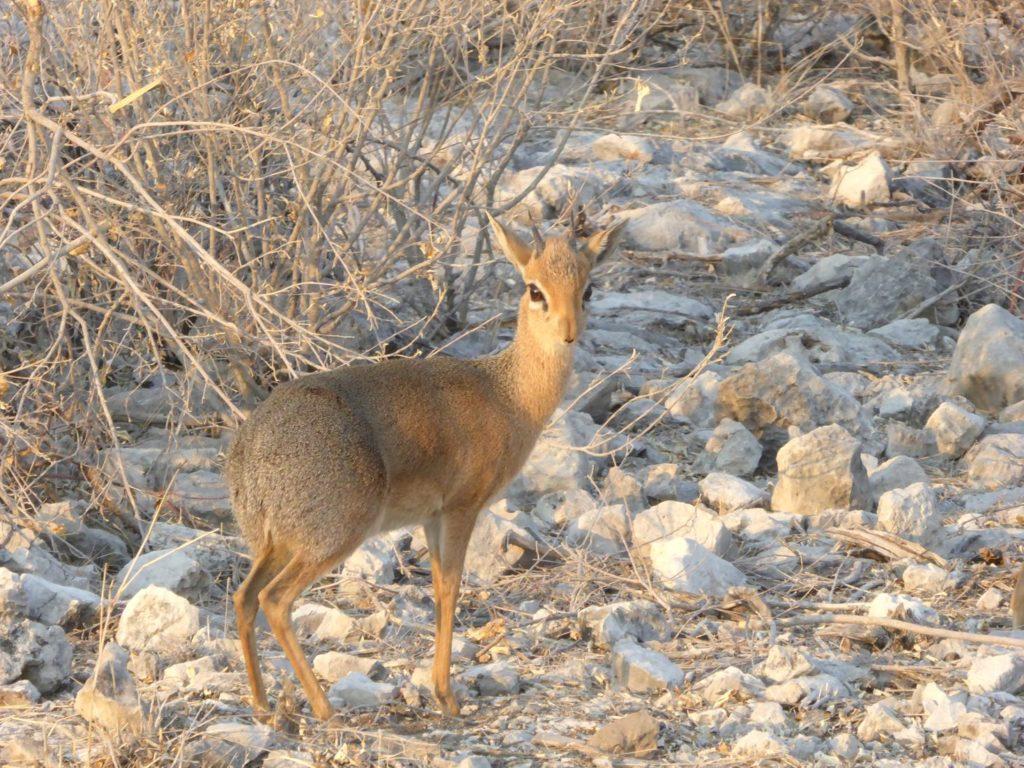 Circuit Namibie dik dik