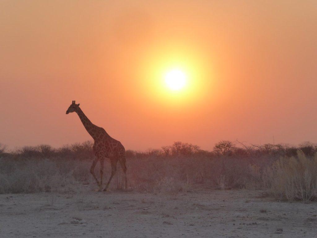 Circuit Namibie girafe