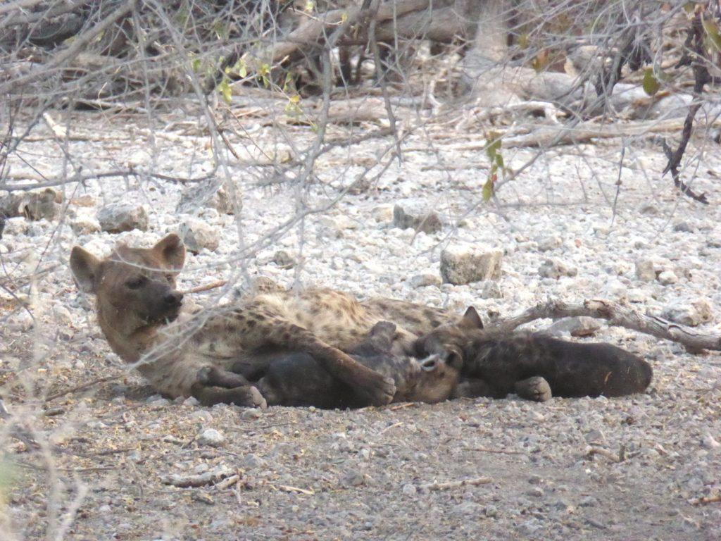 Circuit Namibie hyènes