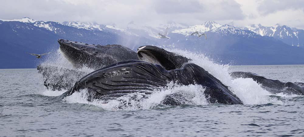 Baleine - Spitzberg