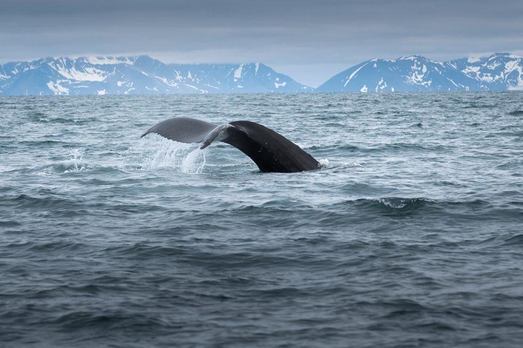 Découverte d'une baleine lors de la croisière au Groenland