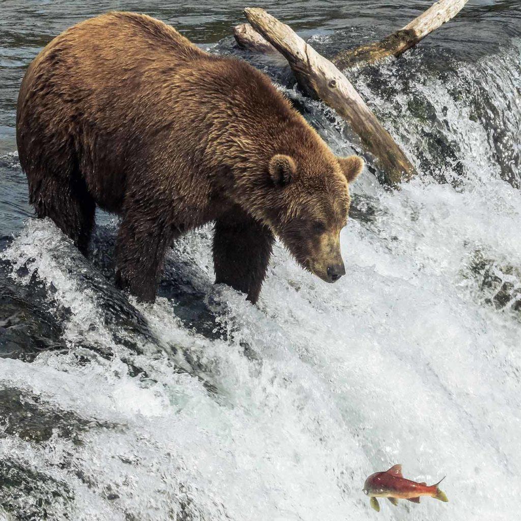 Grizzly Kamchatka