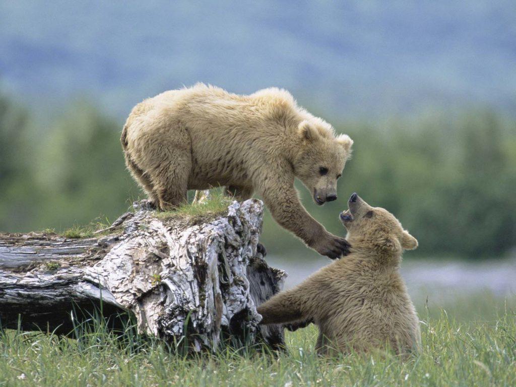 Découverte de bébés grizzlys à Katmaï lors du circuit en Alaska